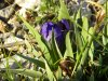 iris de Décembre