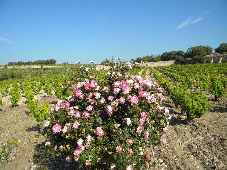 Le Secret de la Muscat /  Rose
