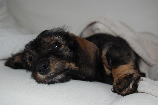 Le Teckel, petit chien rustique d'extérieur mais pas que ....