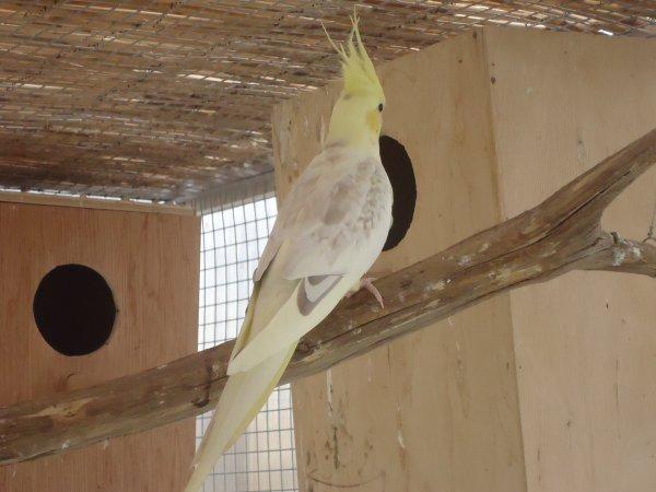 Calopsitte femelle
