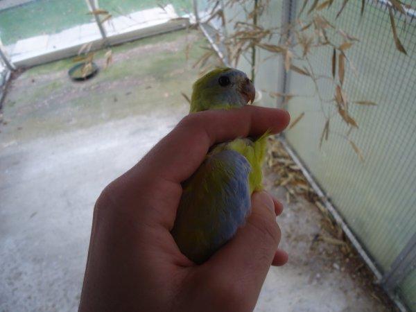 Turquoisine Jaune femelle !