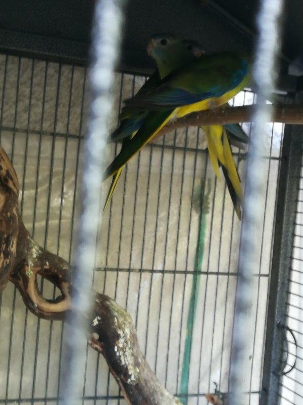 Turquoisine femelle sauvage