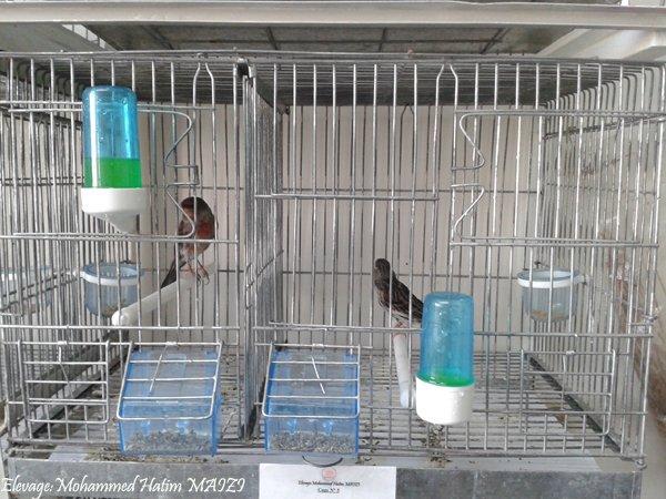 Mise en cage pour la repro 2013 .