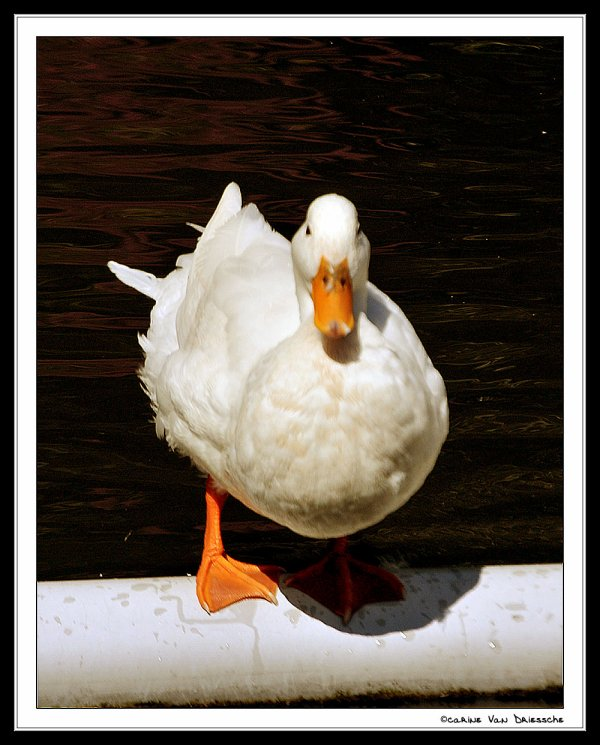 Petit Canard dans le parc à Ostende