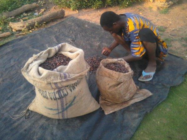 le cacao de cote d'ivoire
