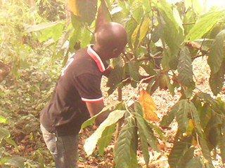 travail de cacao
