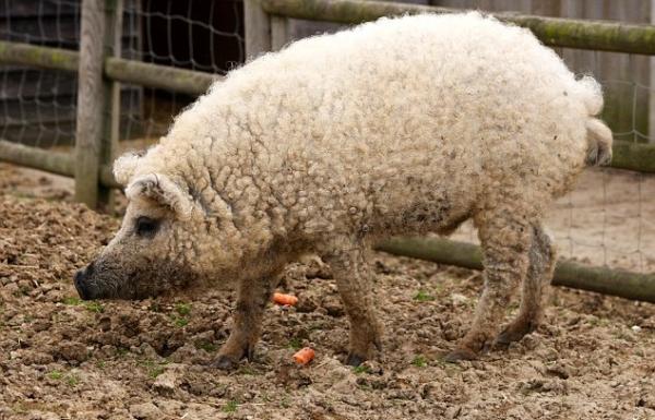 cochon ou mouton ??