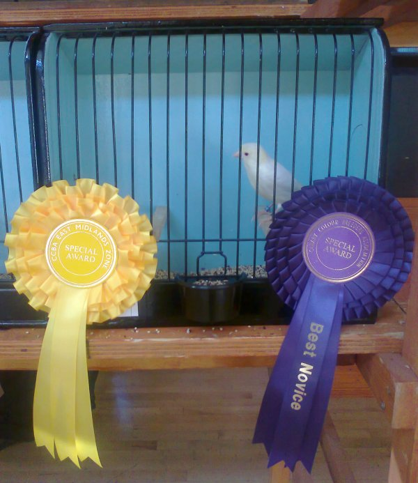 Yellow Ivory Satinette Hen East Midlands Zone Show 2011.