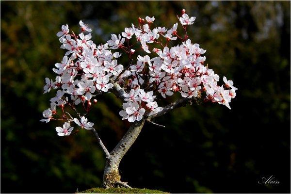 834 - Cerisier.