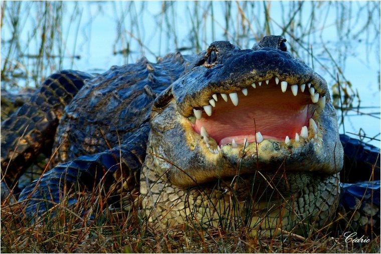 969 - Alligator.