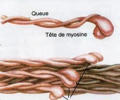 mecanismes de l'hypertrophie musculaire