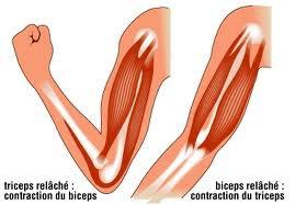 le fonctionnement du muscule