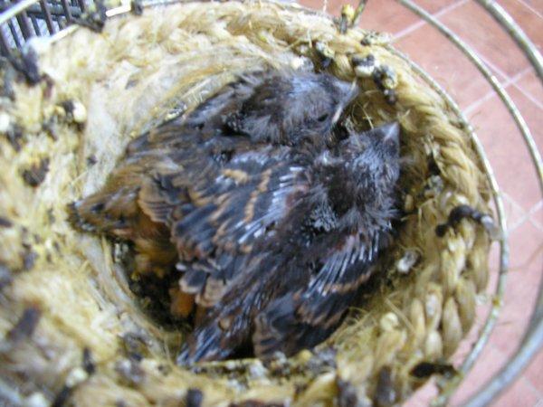 Las primeras nidadas de bronces con 14 días.