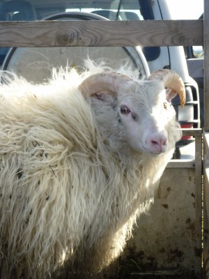 Legolas, que voient vos yeux d'elfe? ... Des moutons!!!