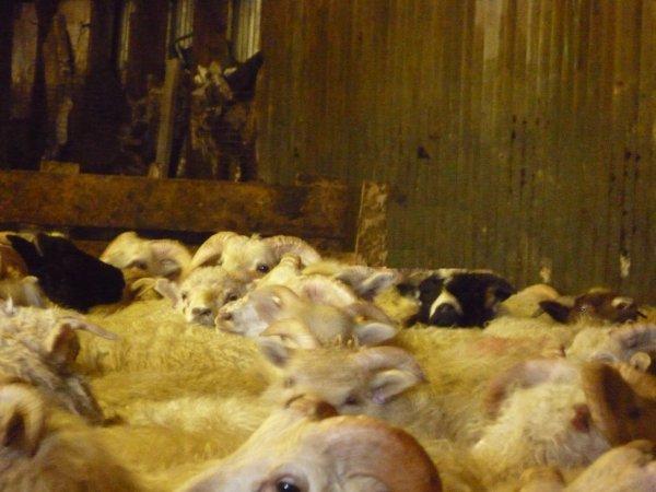 300 moutons plus tard…