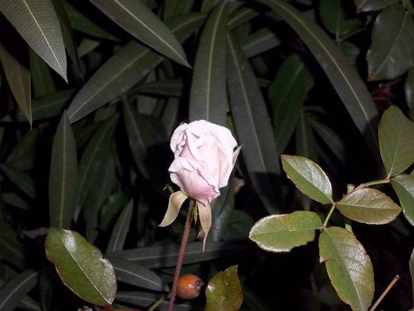 Las rosas han nacido en invierno ... La primavera se acerca rápidamente ...