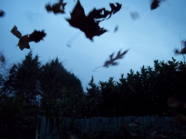 Leaves falling from a tree in autumn, flying in the wind, a winter evening ...
