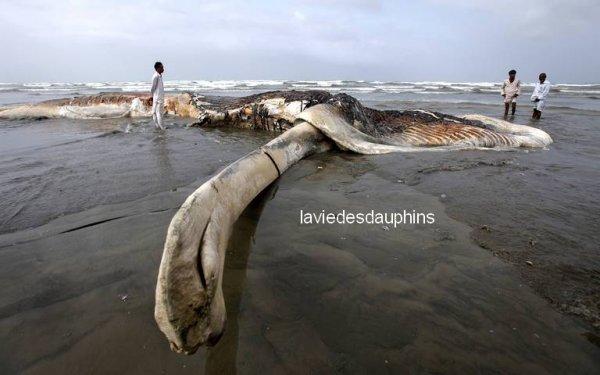 carcasse d'une baleine retrouvée sur une plage