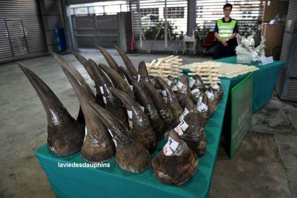 La douane de Hong Kong montre sa saisie de cornes de rhinocéros, bracelets en ivoire pour un total de 1,65 million d'euros trouvé dans un container en provenance de l'Afrique du Sud.