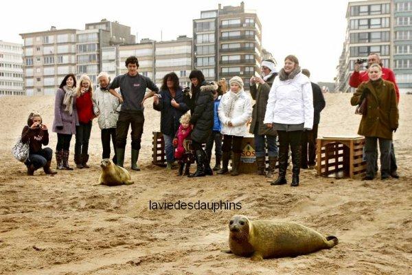 Le Parc National Marin Sea Life de Blankenberge a relâché cinq jeunes phoques sur la plage de la station balnéaire de Koxijde près de la frontière franco-belge. Koxijde, le 25 novembre.