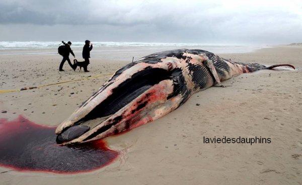 Une baleine s'est échouée le 29 novembre sur une plage de Brest. D'un poids de 20 tonnes, elle a été trouvée par des surfeurs, probablement échouée pendant sa migration vers le Sud.