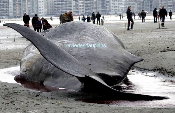 Sur la plage de Heist en Belgique, des passants regardent un cachalot de treize mètres qui s'est échoué dans la matinée du 8 février.