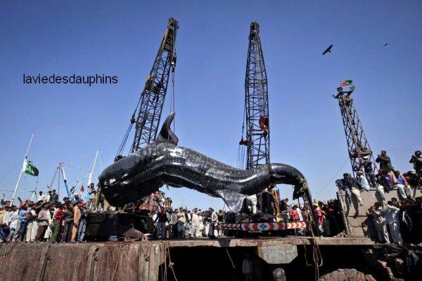 Un requin baleine retrouvé mort a été remonté sur les quais du port de de Karachi, le 7 février.