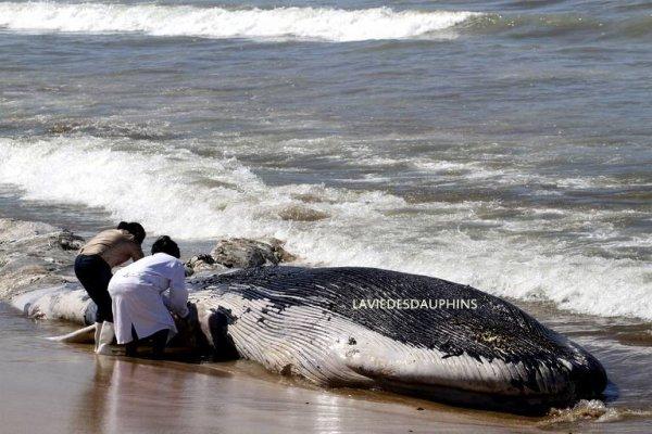 Une baleine s'est échouée sur une plage de Mazatlan, au Mexique, le 20 mars.