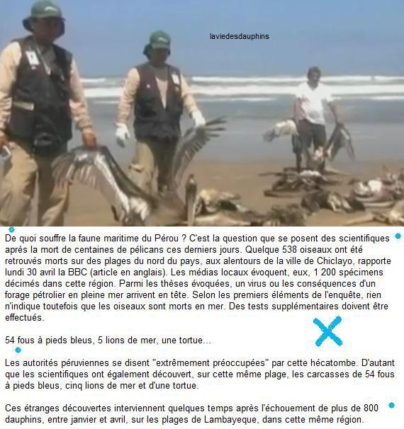 500 pélicans morts, 800 dauphins échoués... mystère autour d'une hécatombe au Pérou