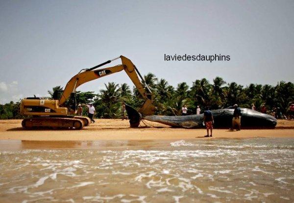 Une baleine échouée sur la plage de Luquillo, à Puerto Rico, a dû être ramassée avec un bulldozer, le 3 juin.