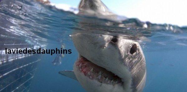 """L'effet """"chiffon rouge"""" pour repousser les requins et empêcher les attaques ?"""