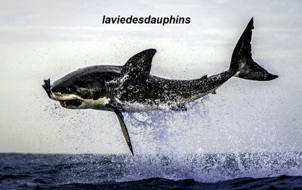 PHOTO INSOLITE : Un grand requin blanc a fait des prouesses pour attraper ce pauvre phoque