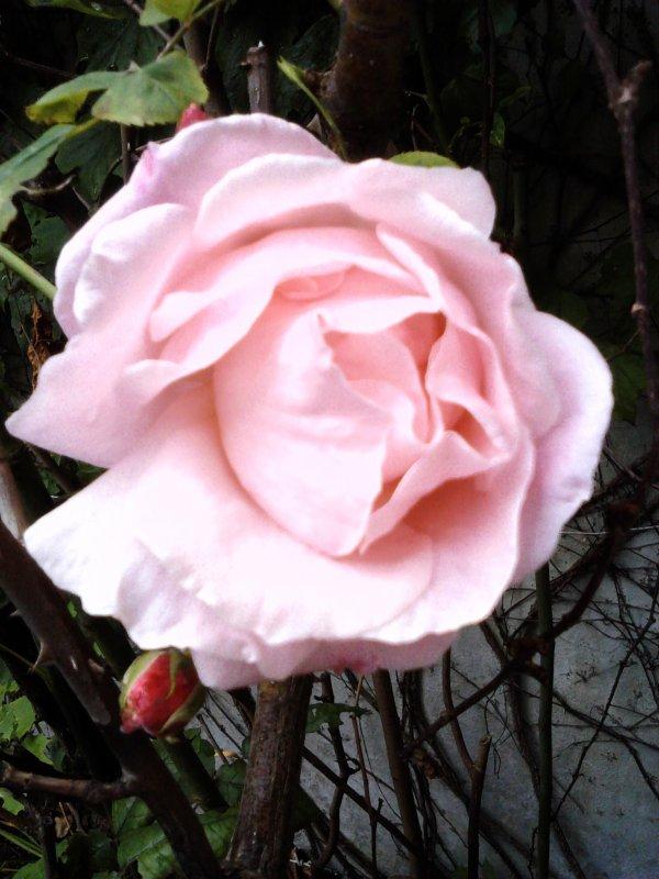 UNE BELLE ROSE TENDRE POUR ADOUCIR VOTRE SEMAINE !!!