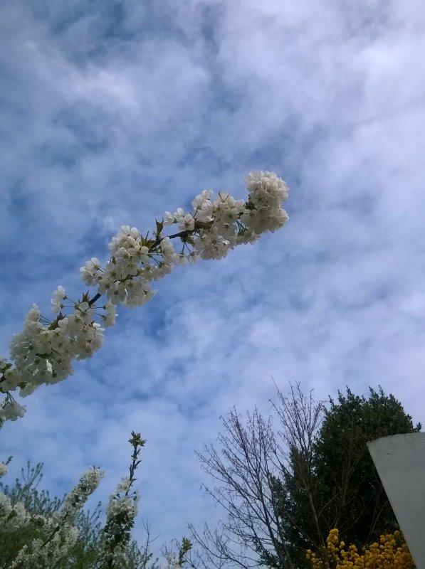 Le cerisier en fleurs ! symbole du printemps et du temps des cerises !