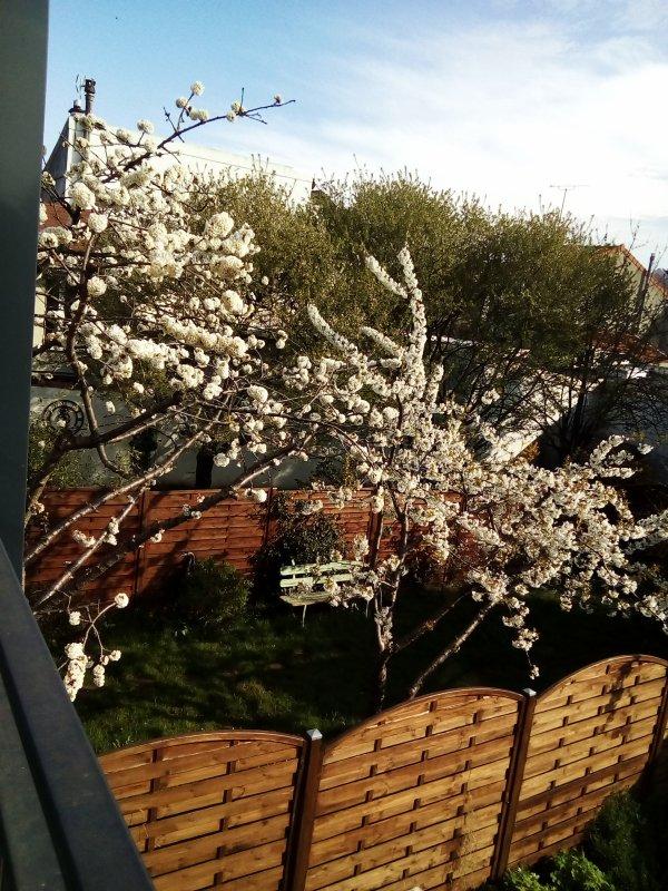 Voici venu le temps des cerisiers en fleurs !