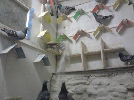 L`hiver est arrivé et les pigeons sont bien au chaud.