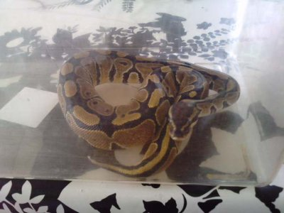 mon python