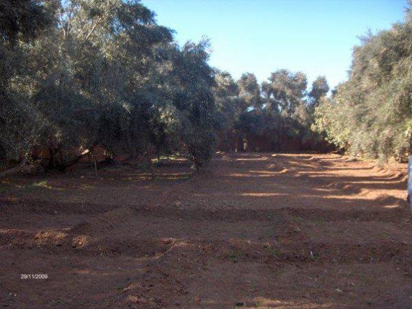 un petit un jardin d'olivier