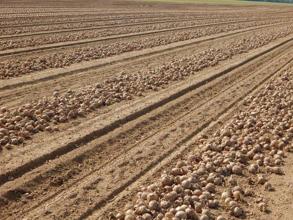 Récolte d'oignons