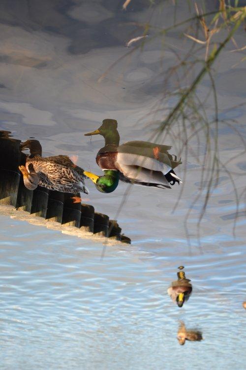 Dans l'eau on voit le ciel mais aussi des canards..