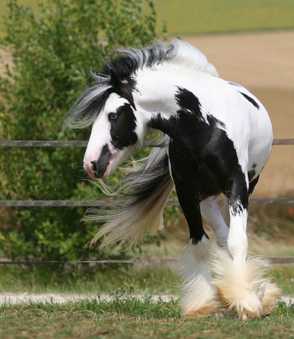 [] - THE IRISH COB - []
