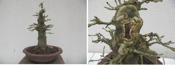 Un frêne en bonsaï