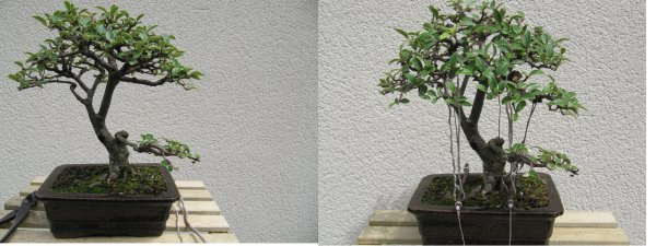 Cotonéaster de jardin