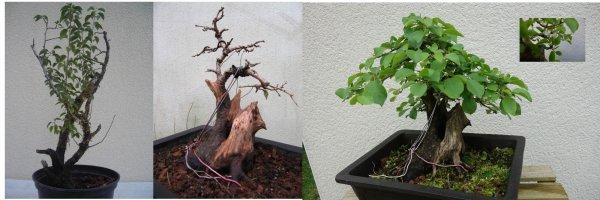 Evolution d'un prunus mahaleb Ste Lucie