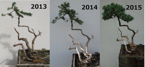 Evolution d'un romarin entre 2013 et 2015