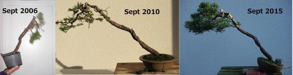 Evolution d'un genévrier depuis les premiers travaux en 2006