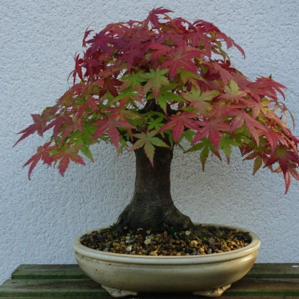 Petit érable aux couleurs d'automne
