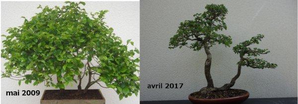 Evolution d'un orme champêtre de style radeau