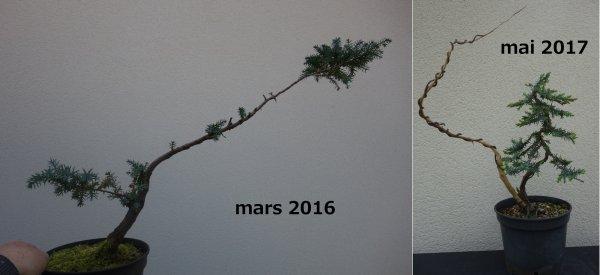 Création d'un genévrier double tronc