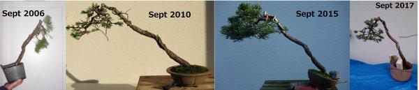 Evolution d'un genévrier entre 2006 et 2017